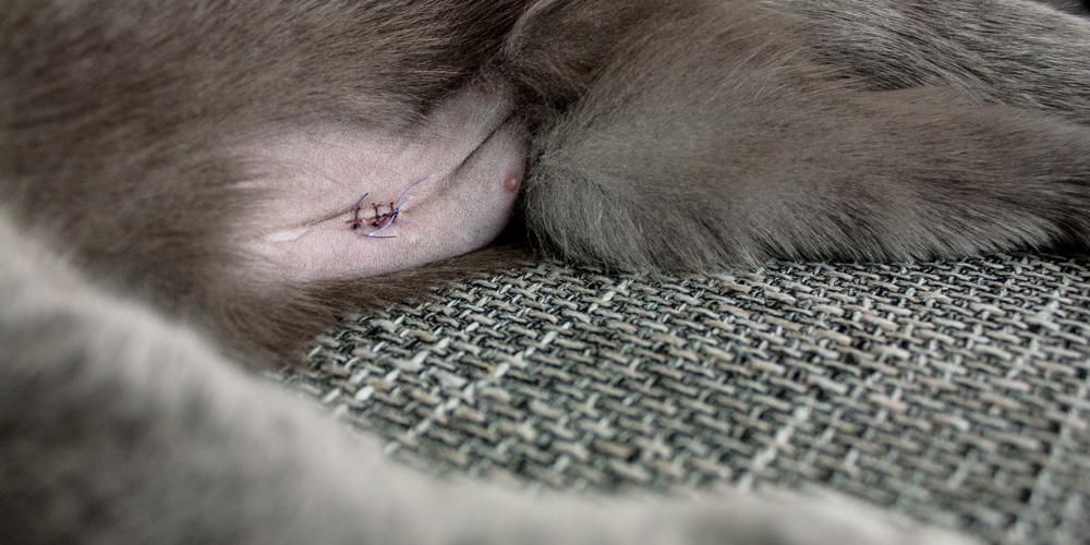 Wunde einer Katze nach Entfernung der Eierstöcke